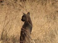 The East Bay bobcat?