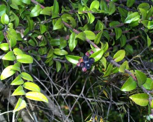 Evergreen Huckleberry (fall)